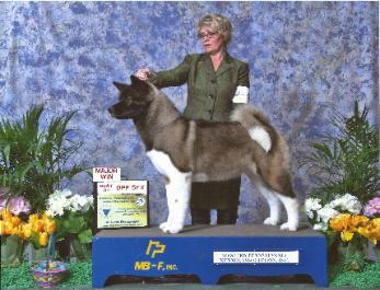 FULL MOON AKITA'S PUPPIES FOR SALE AKC BREEDER & STUD SERVICE