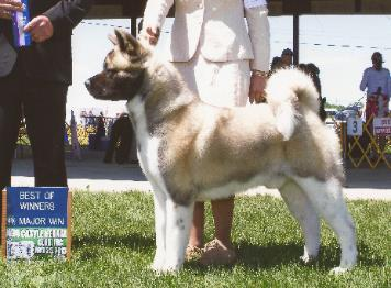 Full Moon Akitas Puppies For Sale Akc Breeder Stud Service
